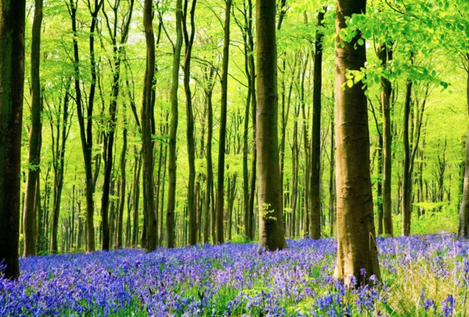 NF bluebell pic